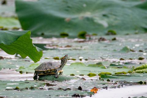 深セン洪湖公園の亀.jpg